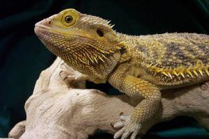 House pet lizard
