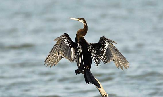 Darter bird at Gudavi Bird Sanctuary. Image source Gundimane