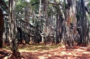 The Big Banyan Tree