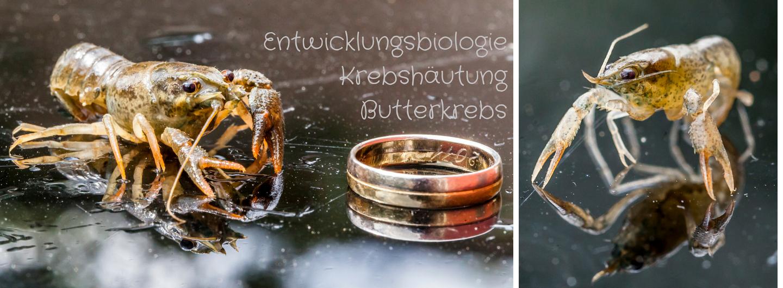 Entwicklungsbiologie, Butterkrebs, Krebshäutung, Flusskrebs