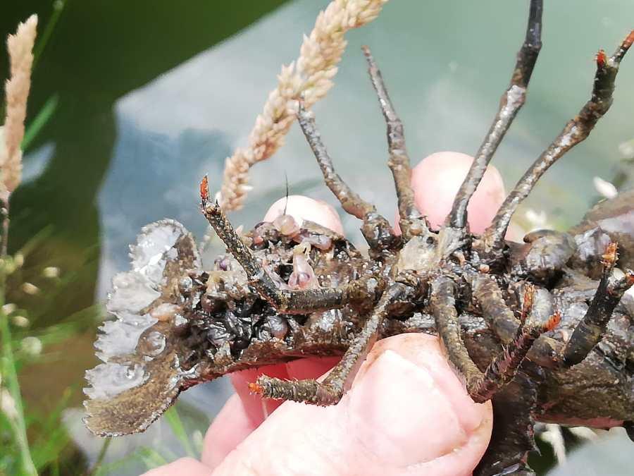 Krebsweibchen mit Eier und frisch geschlüpften Jungtieren - Foto: Maria Jandl