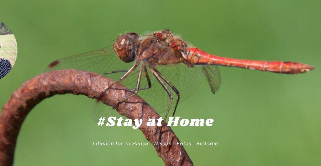 Libellen für zu Hause - Wissen - Fotos - Biologie