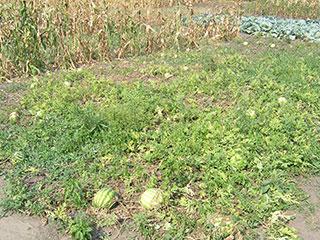 Под Киевом уже можно выращивать арбузы!
