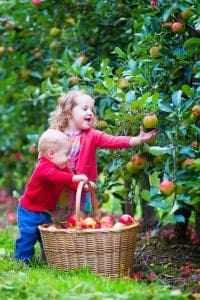 Apples taste better plucked from the tree.