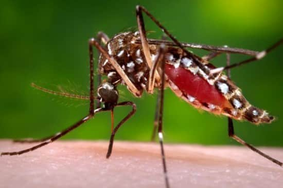A female Aedes aegypti in the process of acquiring a blood meal from her human host (photo: James Gathany)