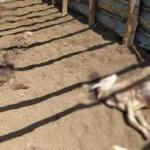 Kastamonu'da ayı saldırısı: 25 koyun öldü