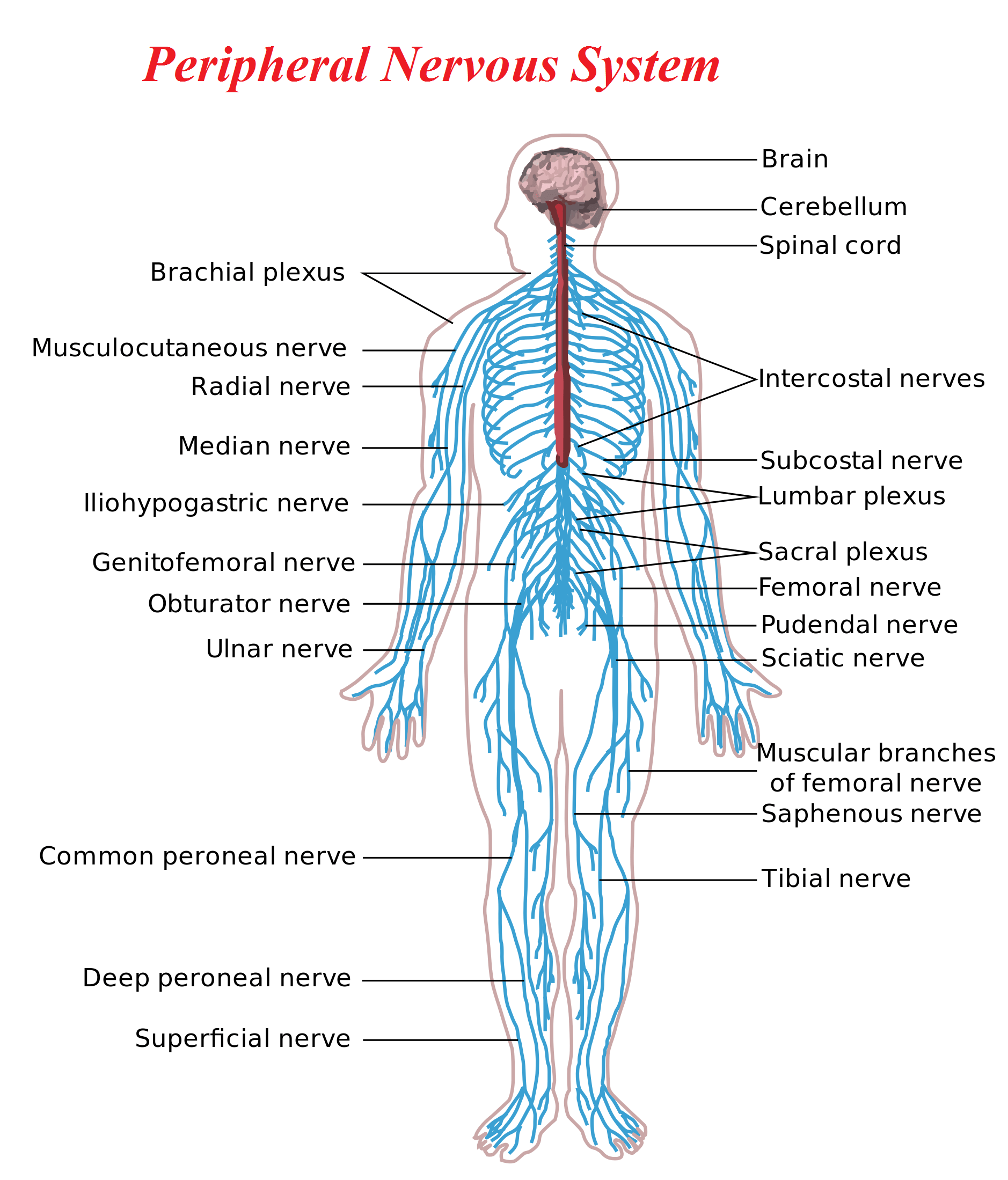 Peripheral Nervous System Yoga