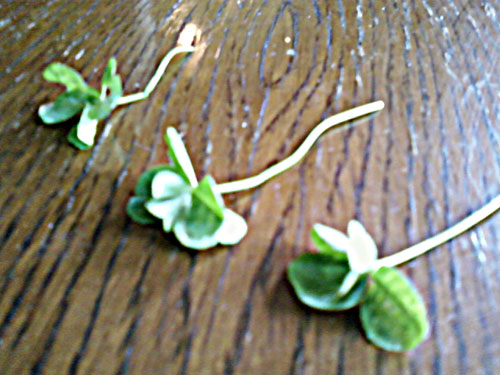 Photo title: Clovers in a Row
