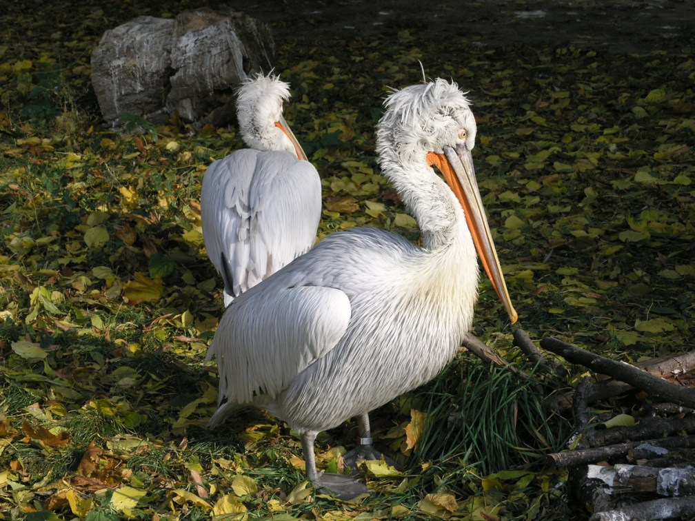 Pelican paradise: bird watching in the Danube Delta or Lake Srebarna