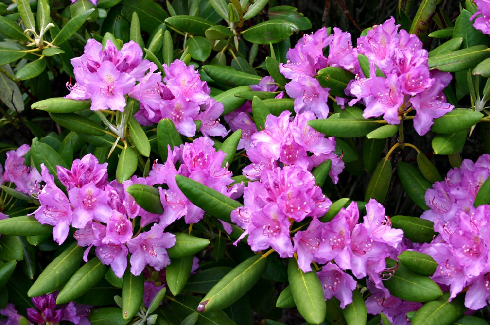 Asian evergreens in Strandzha: the Pontic rhododendrons