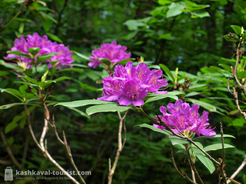 Explore the lush old-growth forests: the Rhododendron eco-trail