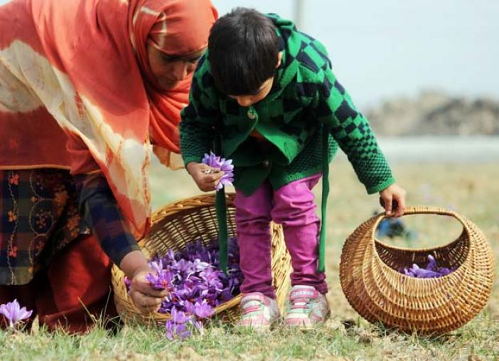 Tiny Picker: Saffron is not grown on any of the other fertile alluvial plateaus of Kashmir, and the people of Pampore are fond of saying there is a certain magical element in the soil of Pampore which helps the flowers to bloom and the stigmas to be imbued with aroma.