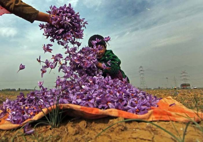 Floral Fun: While Iran accounts for about 70% of total world production, the quality of the Kashmiri saffron is considered the best and the finest.