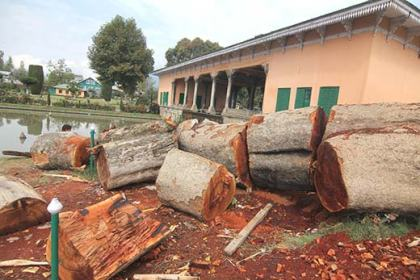 Chinar-Trees-being--Cut-down-at-Shalimar-Garden-on-the-eve-of-Zubin-Mehtas-Music-concert