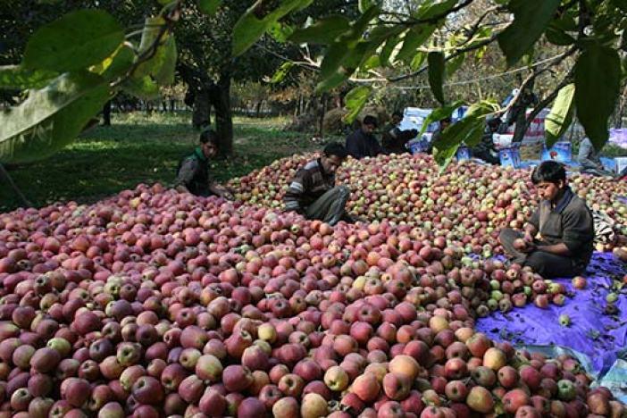 A scene of apple harvest.