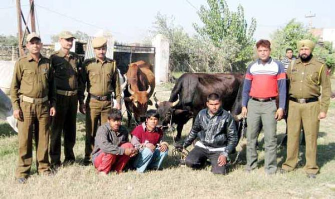 Bovine smugglers arrested by police in Jammu region.