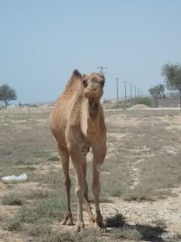 Camello en Qeshm