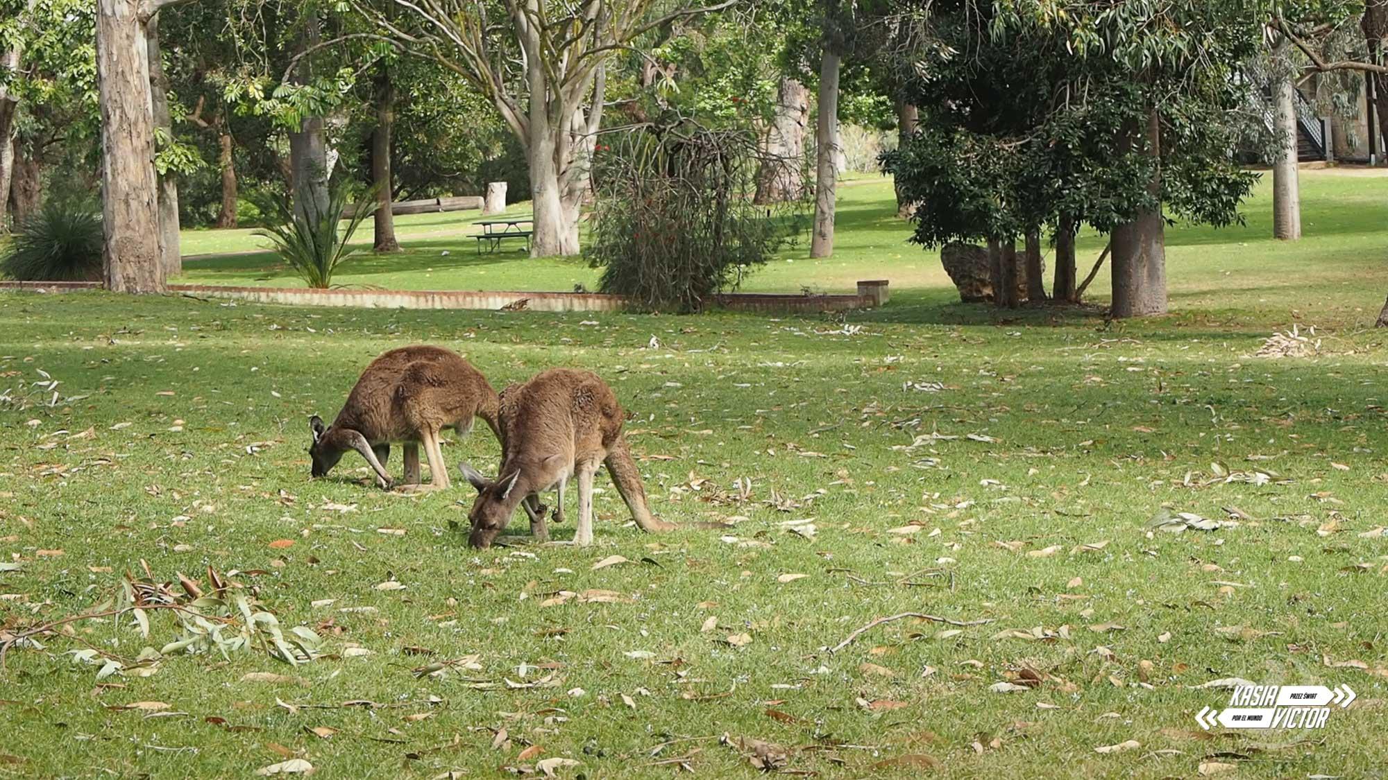 Gdzie Zobaczyć Koale I Kangury W Perth? Caversham Kontra Yanchep