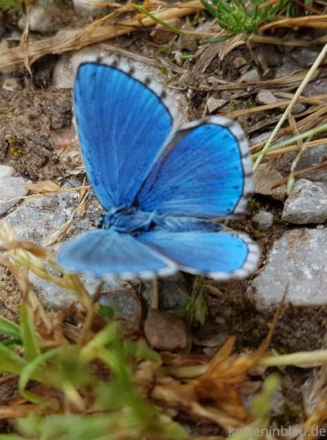 Blauer Schmetterling Las Medulas