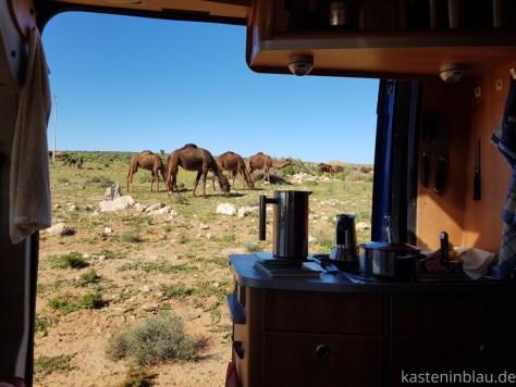 Kamele am Wohnmobil