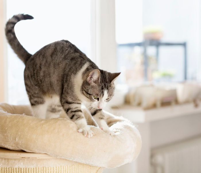 Dit is de reden dat katten trappelen of kneden