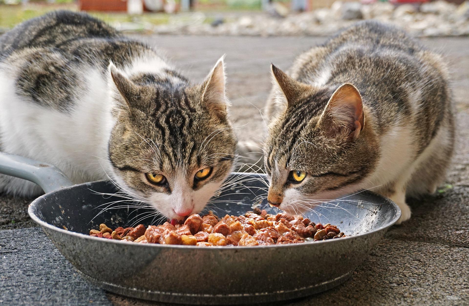 Hoe vaak moet een kat eten?