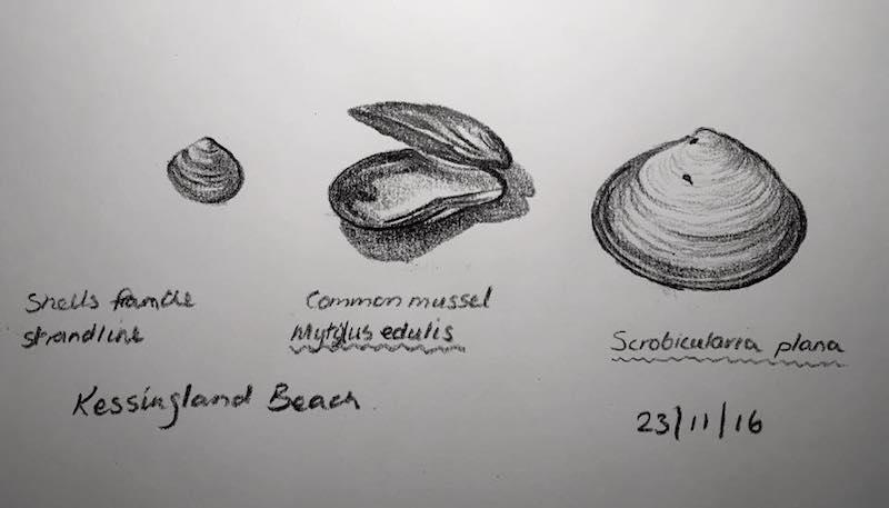 Beach shells 328
