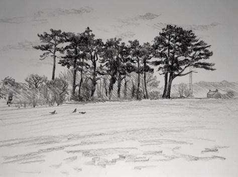 Pine trees 351