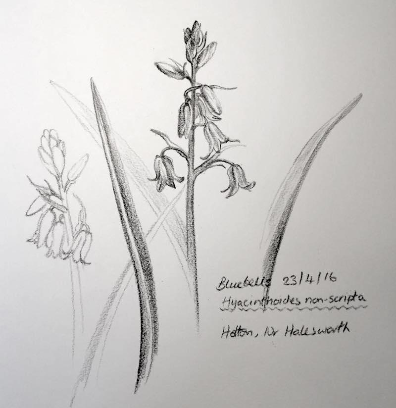 bluebells in Holton sketch 114