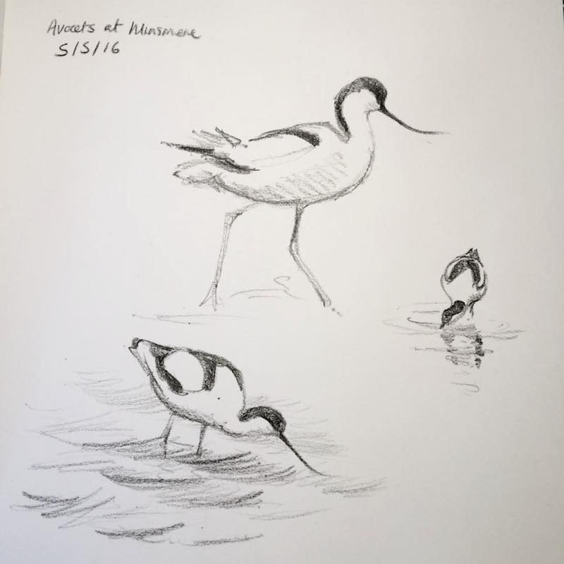 minsmere avocets sketch 126