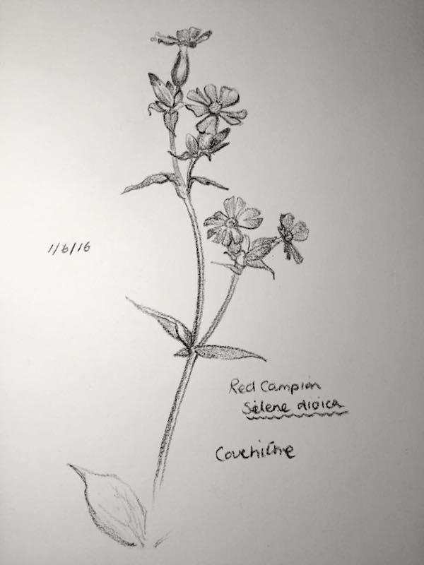 Red Campion sketch 153