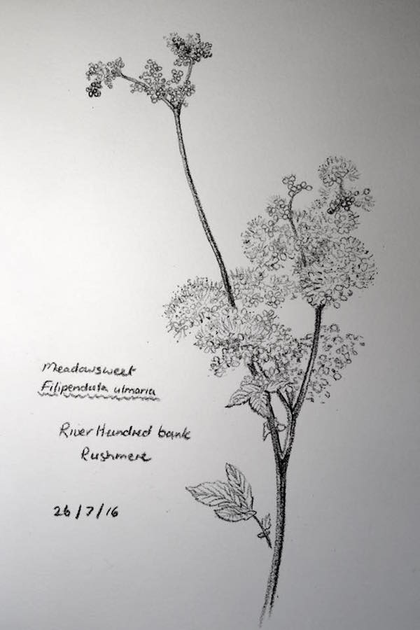 Meadowsweet sketch 208