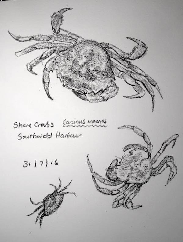 Shore crab sketches 213
