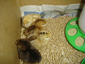 The New Chickens!