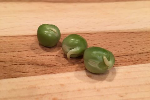Pre-Sprout your Seeds for better germination and planting!