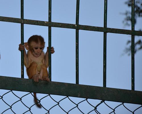 Baby Monkey Near the Pashupatinath Temple