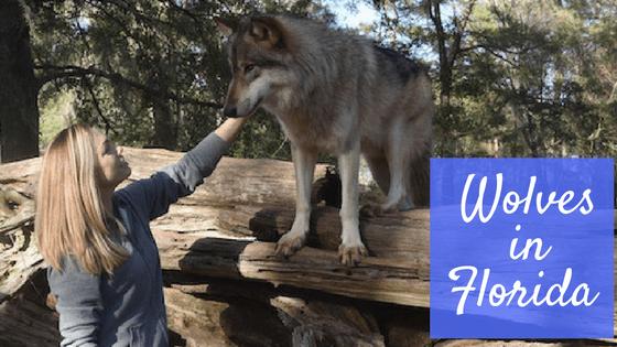 wolves in chipley florida seacrest