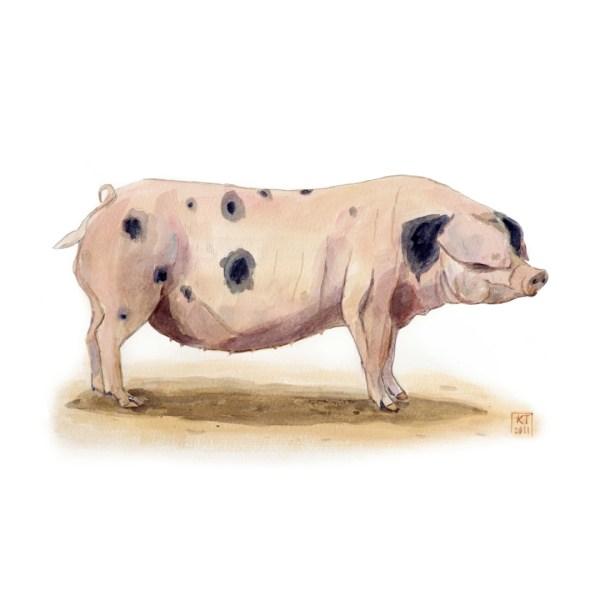 Gloucester old spot pig framed print