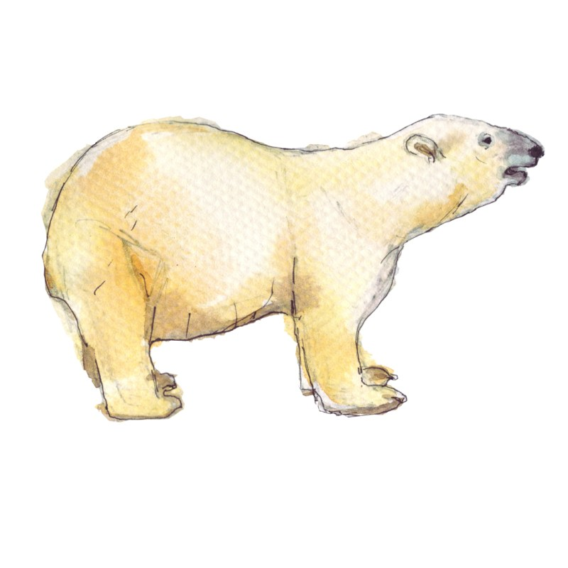 polar bear watercolour