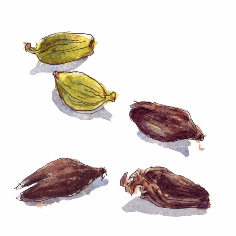 Cardamoms, watercolour illustration