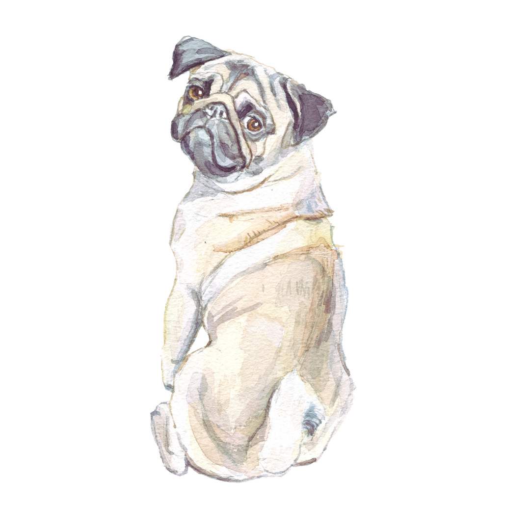 Watercolour paintng of a pug
