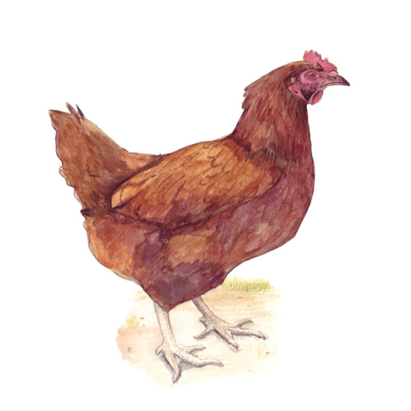 Rhode Island chicken watercolour painting