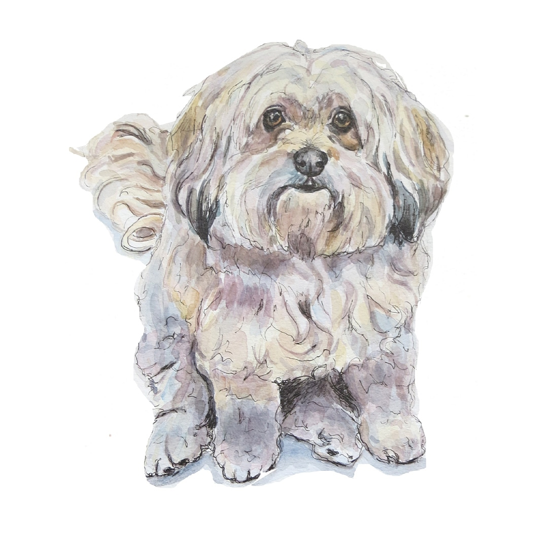 watercolour portrait of a bichon havanese