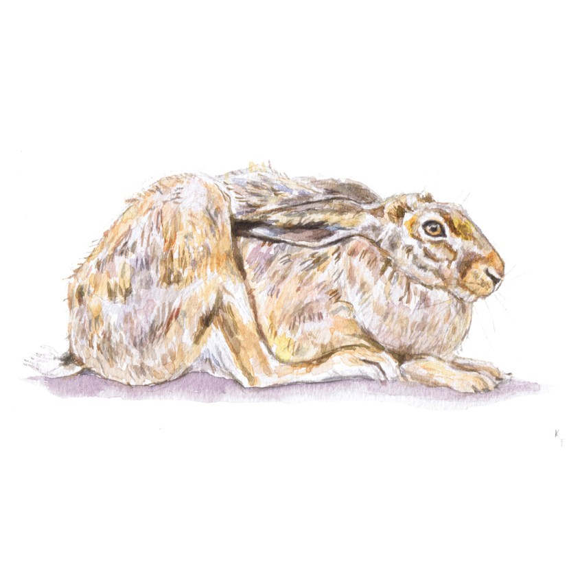 hare watercolour painting