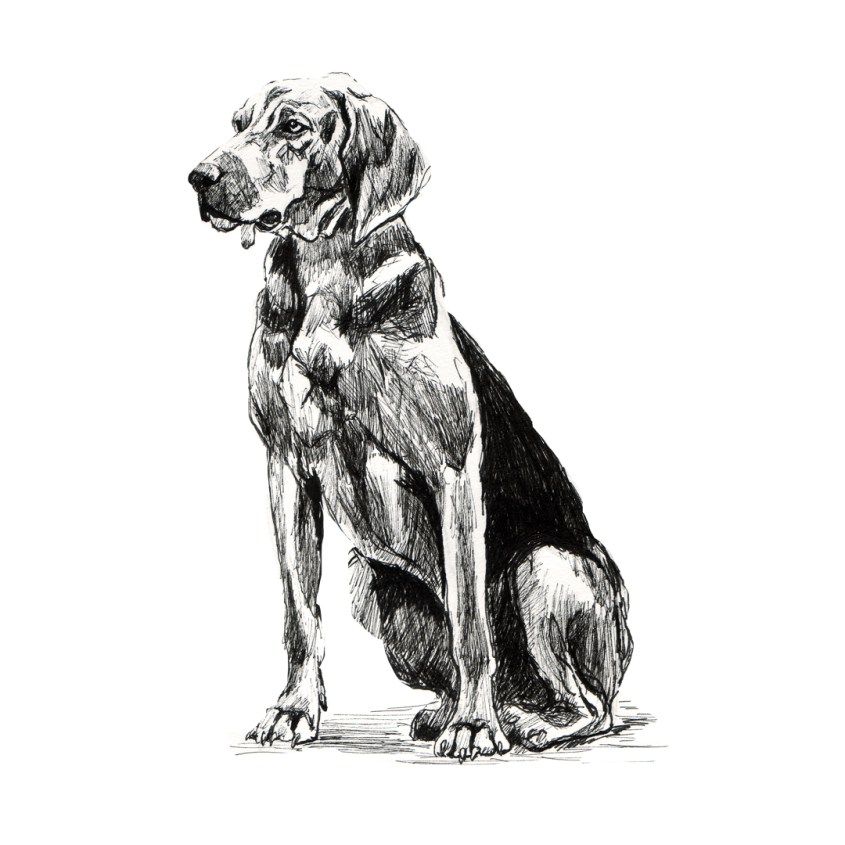 hound drawing in pen