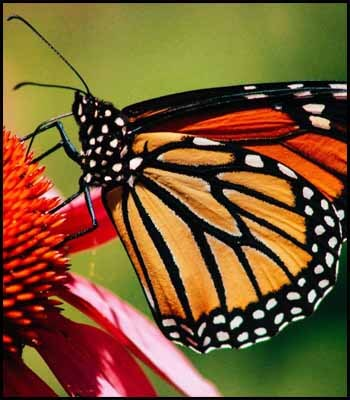 Monarch Butterfly Blogger's Pit Stop #237