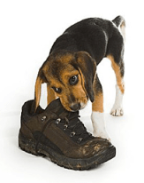 dog-chew-shoe