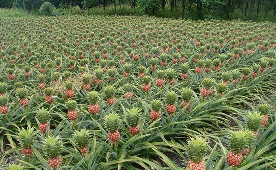 Pineapples don 39 t grow in the ground kathleen 39 s blog for Pineapple in the ground