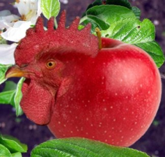 apple-rooster-copy