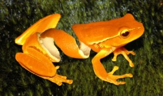 orange-peel-frog-copy